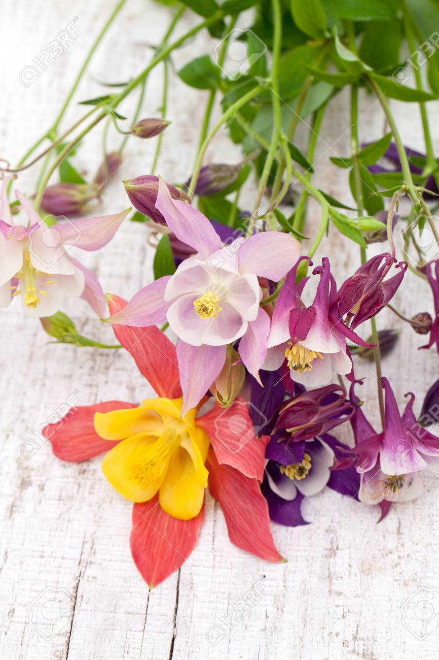 Columbine flowers of different colors on wooden background stock columbine flowers of different colors on wooden background stock photo 24349273 izmirmasajfo