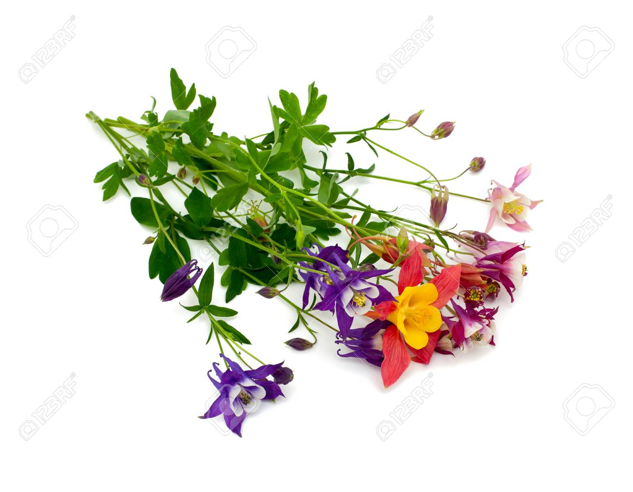 Columbine flowers of different colors over white stock photo columbine flowers of different colors over white stock photo 24896719 izmirmasajfo
