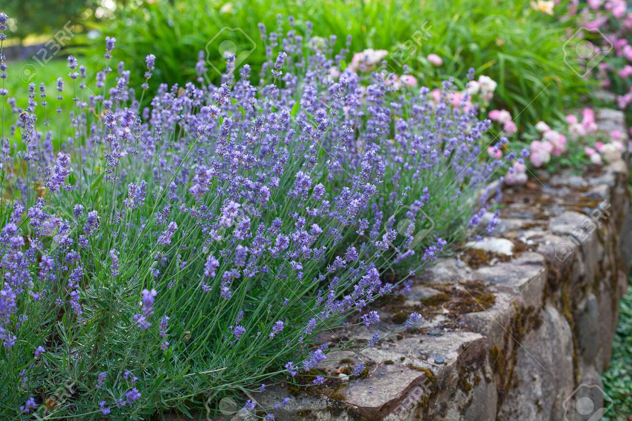 Lavender Bush Growing On A Stone Wall Stock Photo Picture And