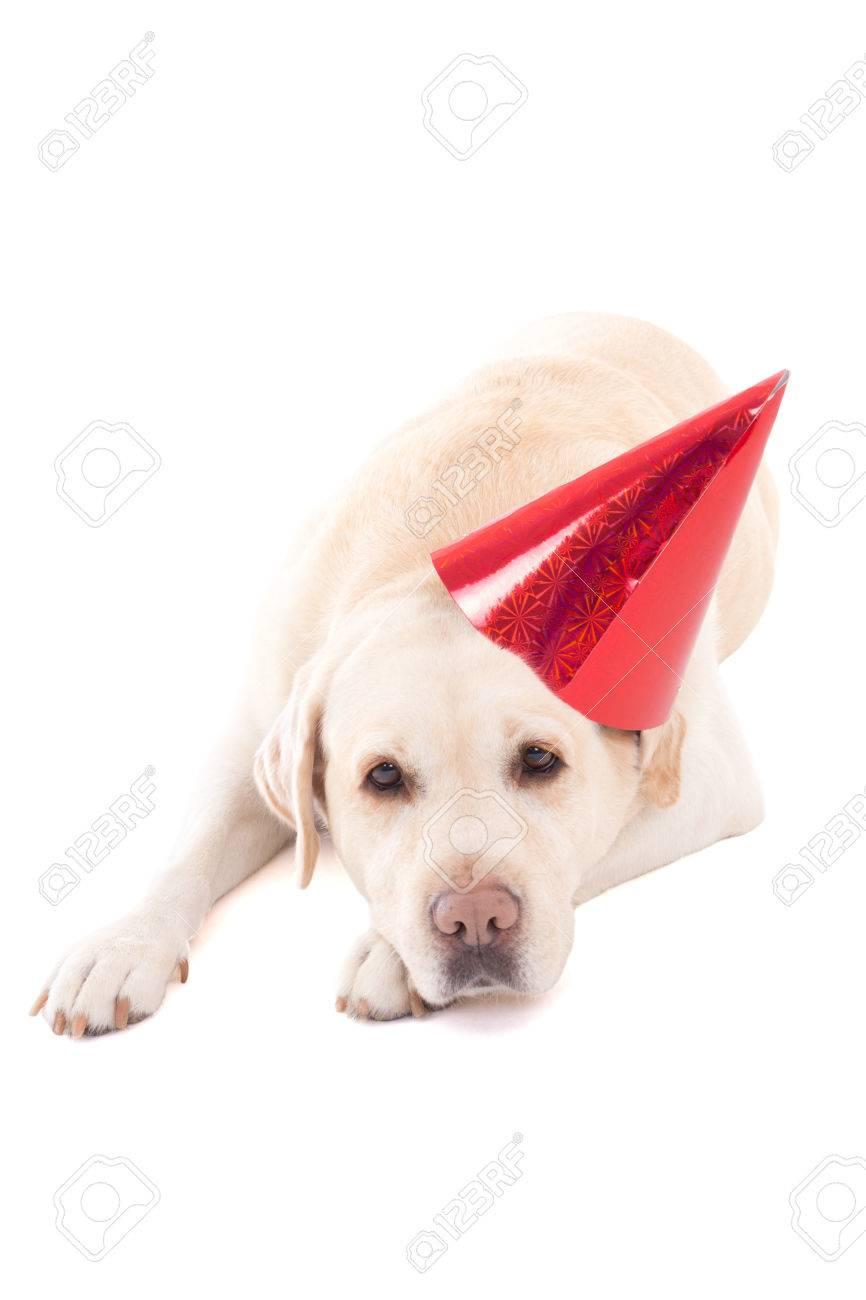 Sad Dog Golden Retriever In Birthday Hat Stock Photo Picture And