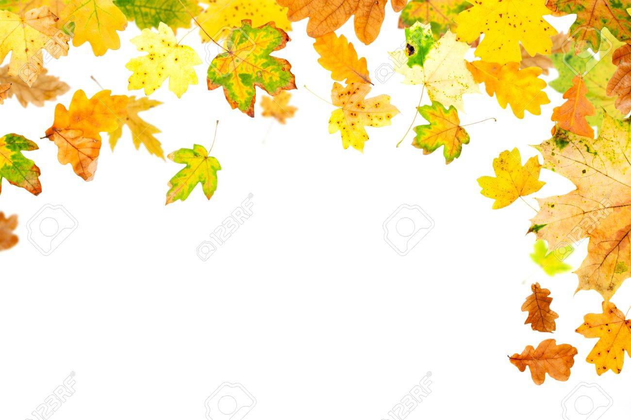 Maple Leaf vs Oak Leaf Falling Oak And Maple Leaves