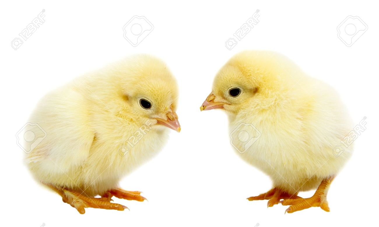 Two Baby Chickens Isolated On White Stock Photo Picture And Royalty