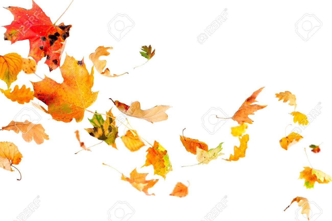 Multi colored leaves falling and spinning isolated on white background Stock Photo - 10698705