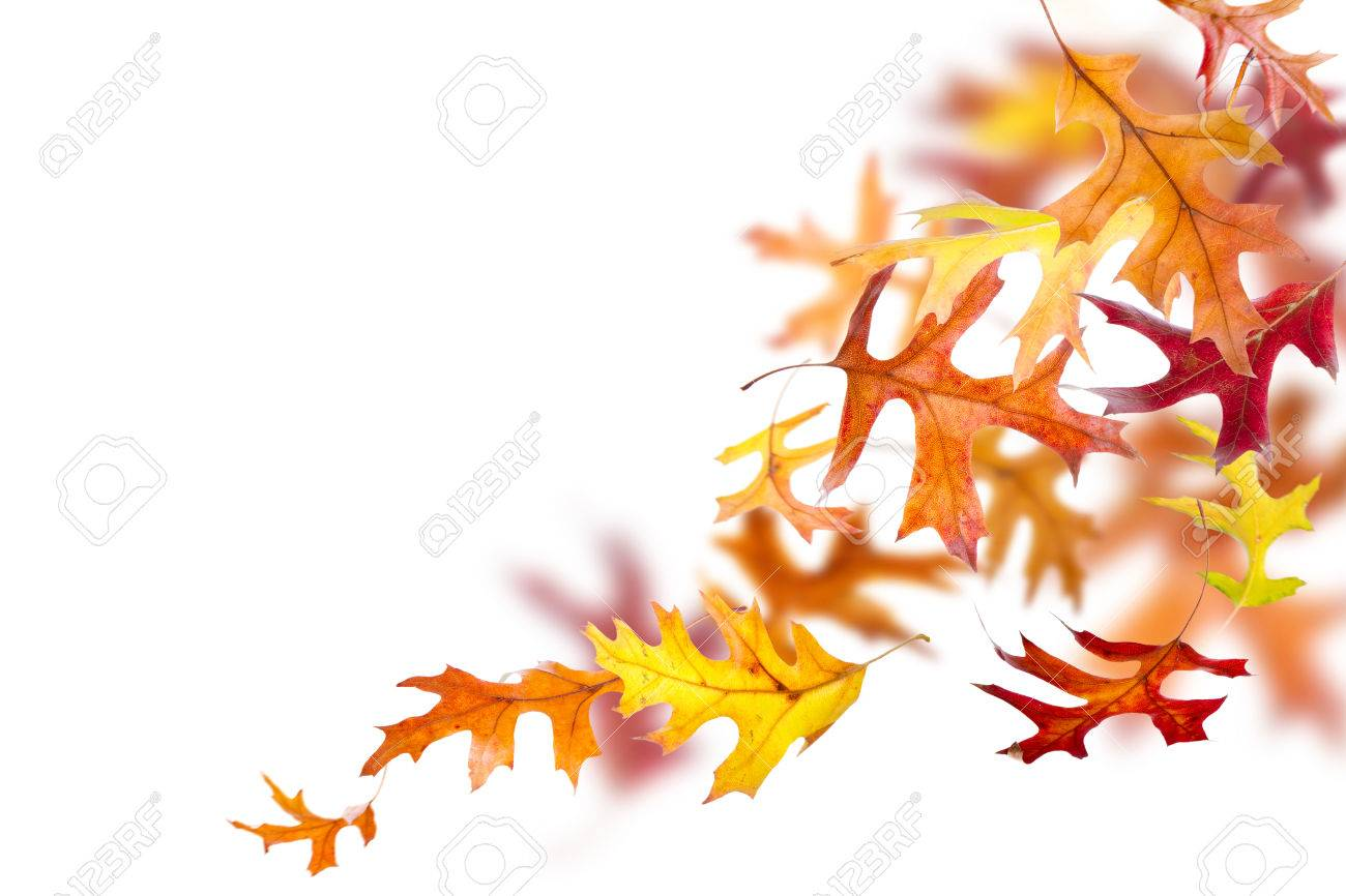 Autumn oak leaves falling and spinning isolated on white background - 44555651