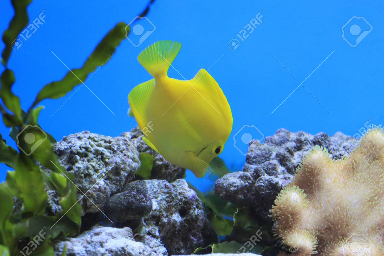 Yellow Tang  - tropical aquarium fish Stock Photo - 17476844