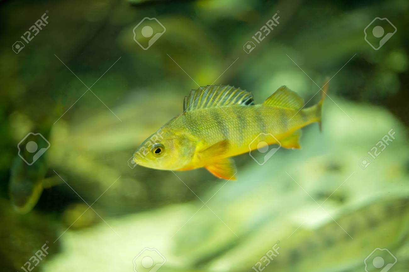Little Colorful Fish Swimming In An Aquarium Stock Photo, Picture ...