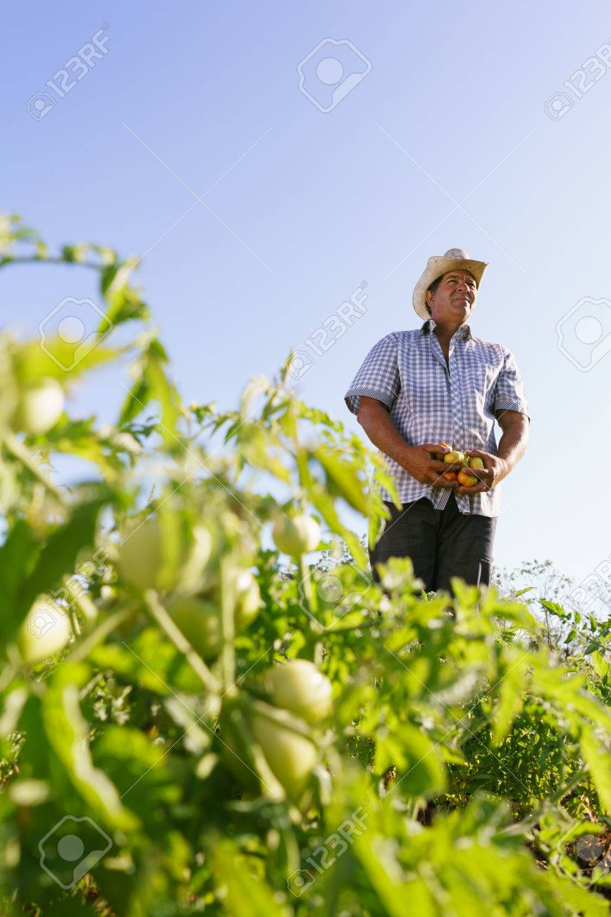Farming and cultivations in Latin America. Middle aged hispanic farmer standing proud in tomato field, holding some vegetables in his hands. Copy space in the sky. - 56140370
