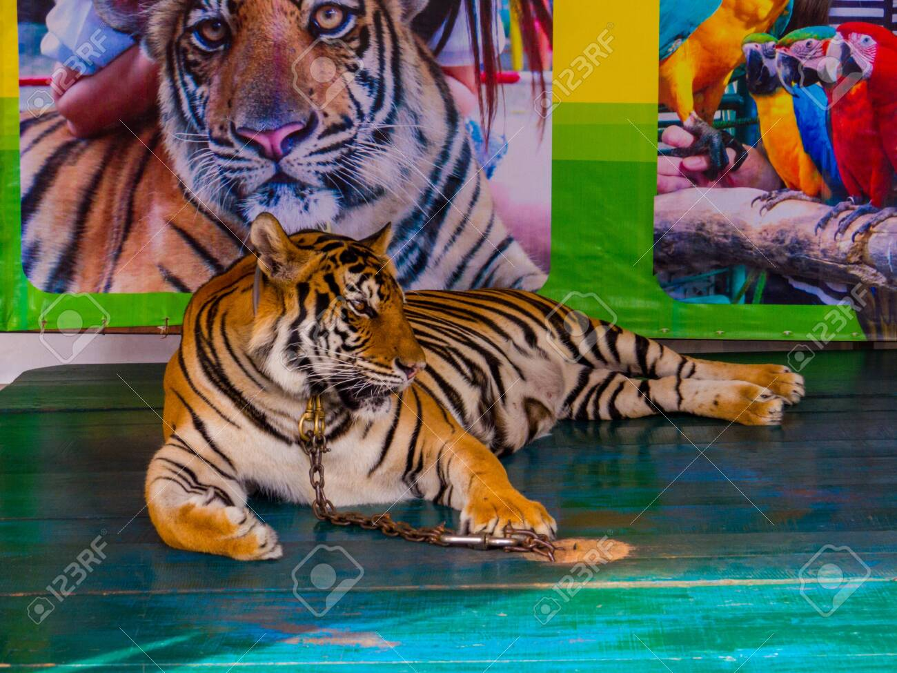 PATTAYA, THAILAND - JANUARY 2, 2019: Tiger in chain for photo with tourists in Nong Nooch Tropical Botanical Garden. - 151821164