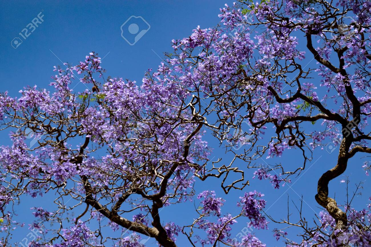 Jacaranda Trees In Buenos Aires Beautiful Trees With Purple Stock Photo Picture And Royalty Free Image Image