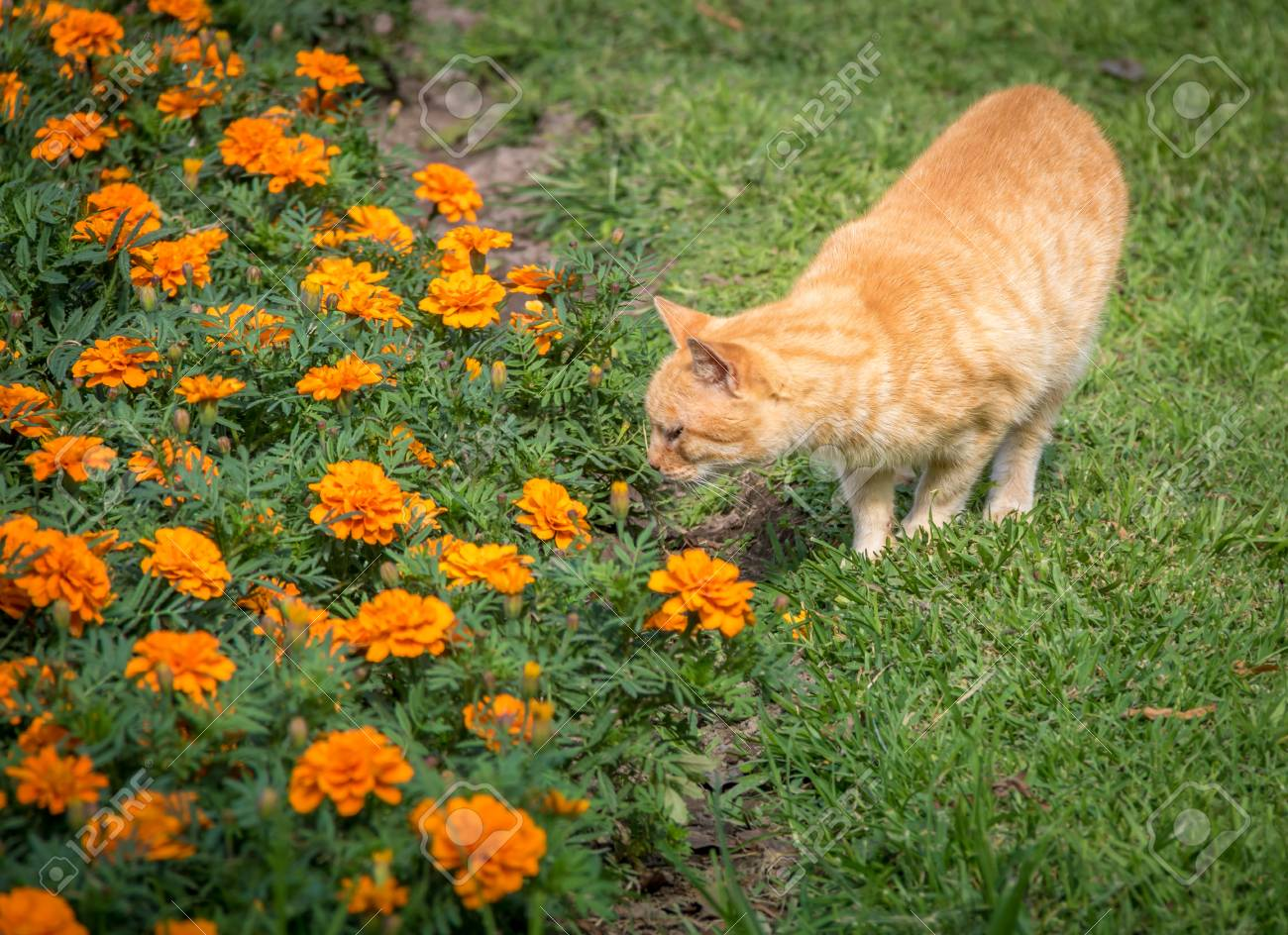 cat and orange flowers lima peru stock photo picture and royalty