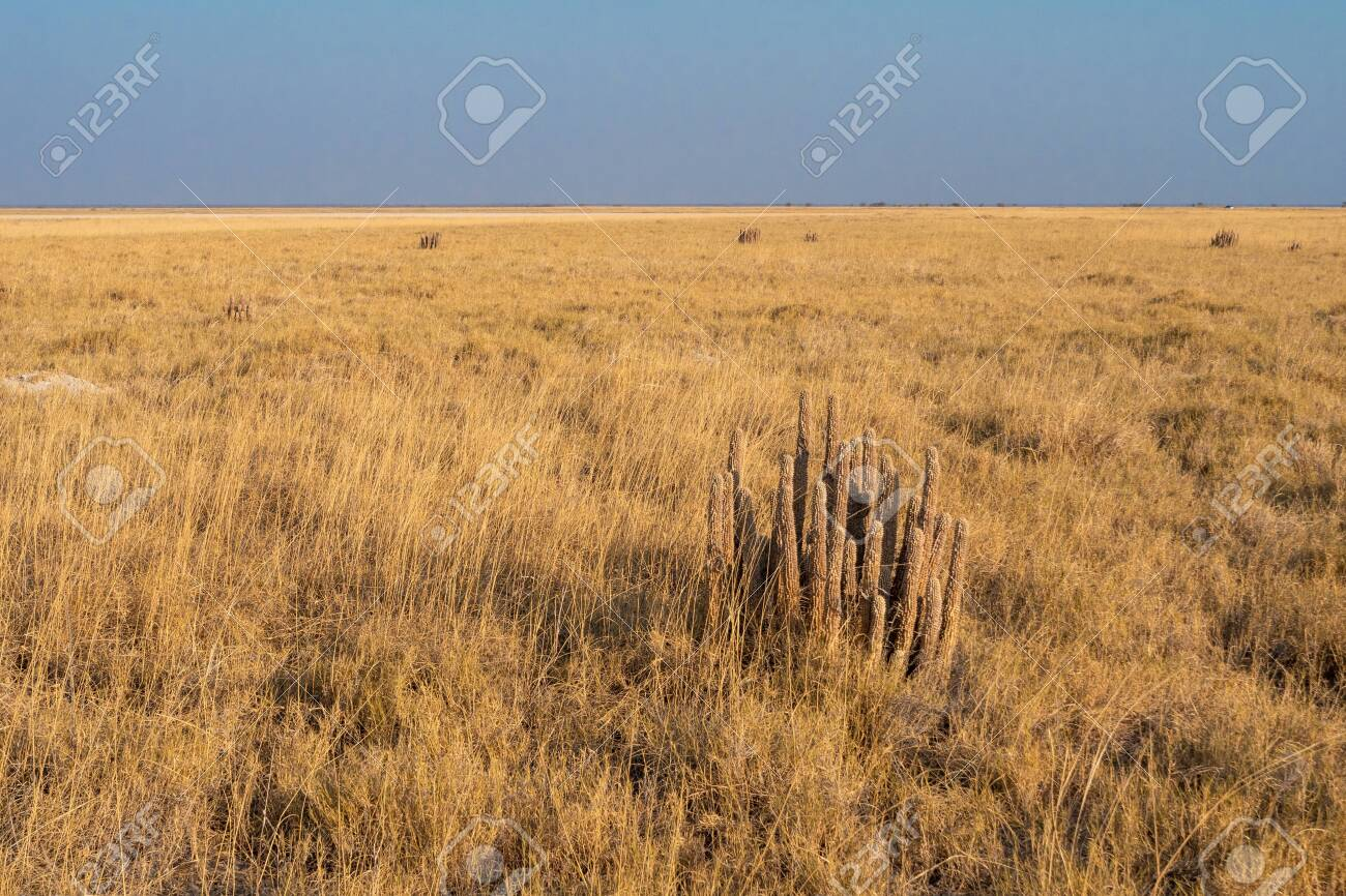 Dry Yellow Gordons Hoodia Hoodia Gordonii In Dry Grass Plain Stock Photo Picture And Royalty Free Image