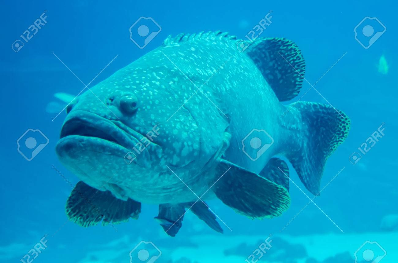 Grouper Fish Stock Photos And Images 123rf