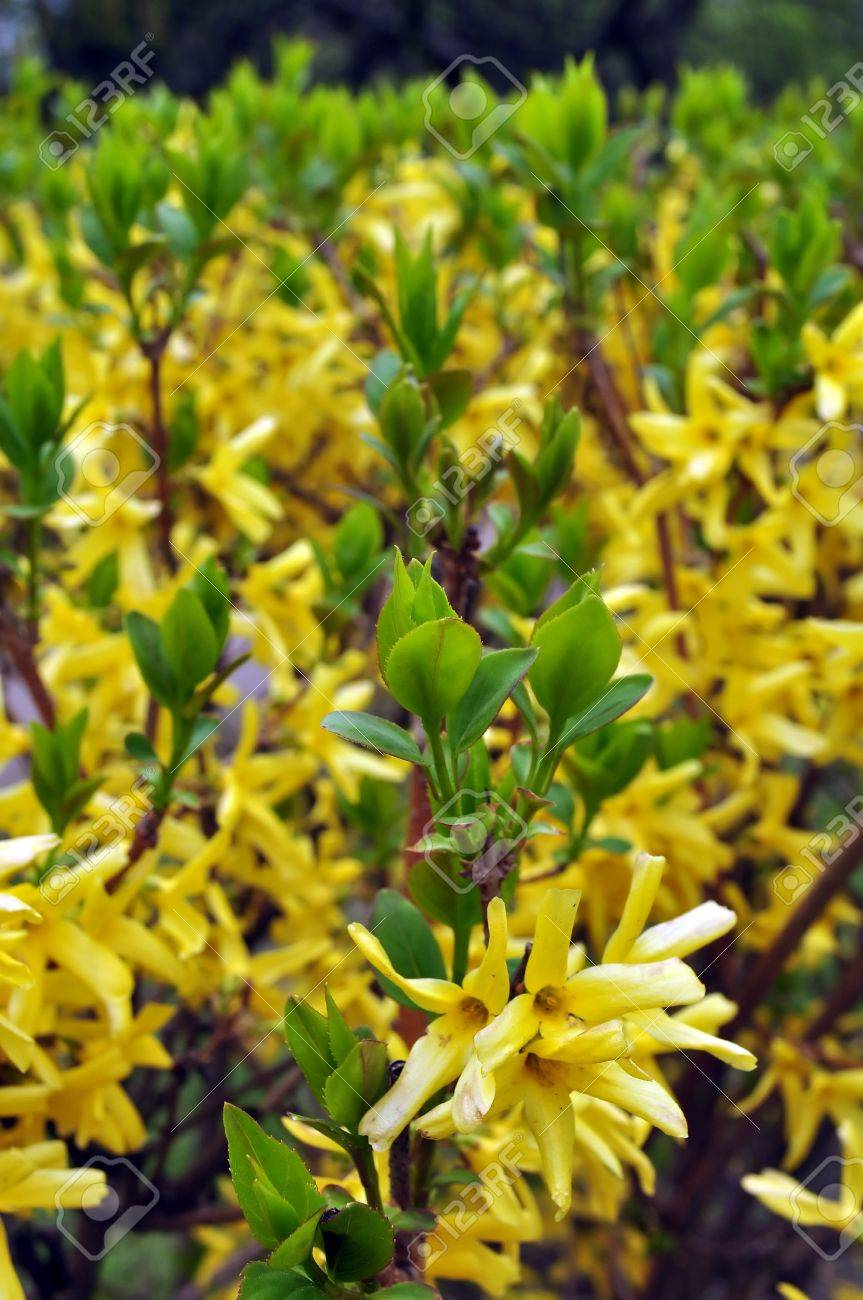 Yellow flowering shrubs in early spring stock photo picture and yellow flowering shrubs in early spring stock photo 6917463 dhlflorist Gallery