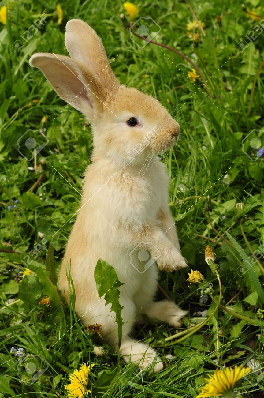 Cute Rabbit Standing On Hind Legs Stock Photo Picture And Royalty