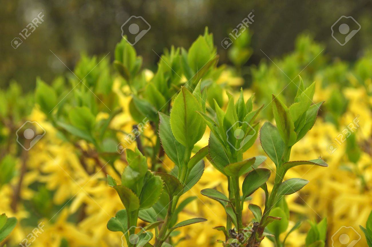 Yellow flowering shrubs in spring stock photo picture and royalty yellow flowering shrubs in spring stock photo 7097065 dhlflorist Gallery