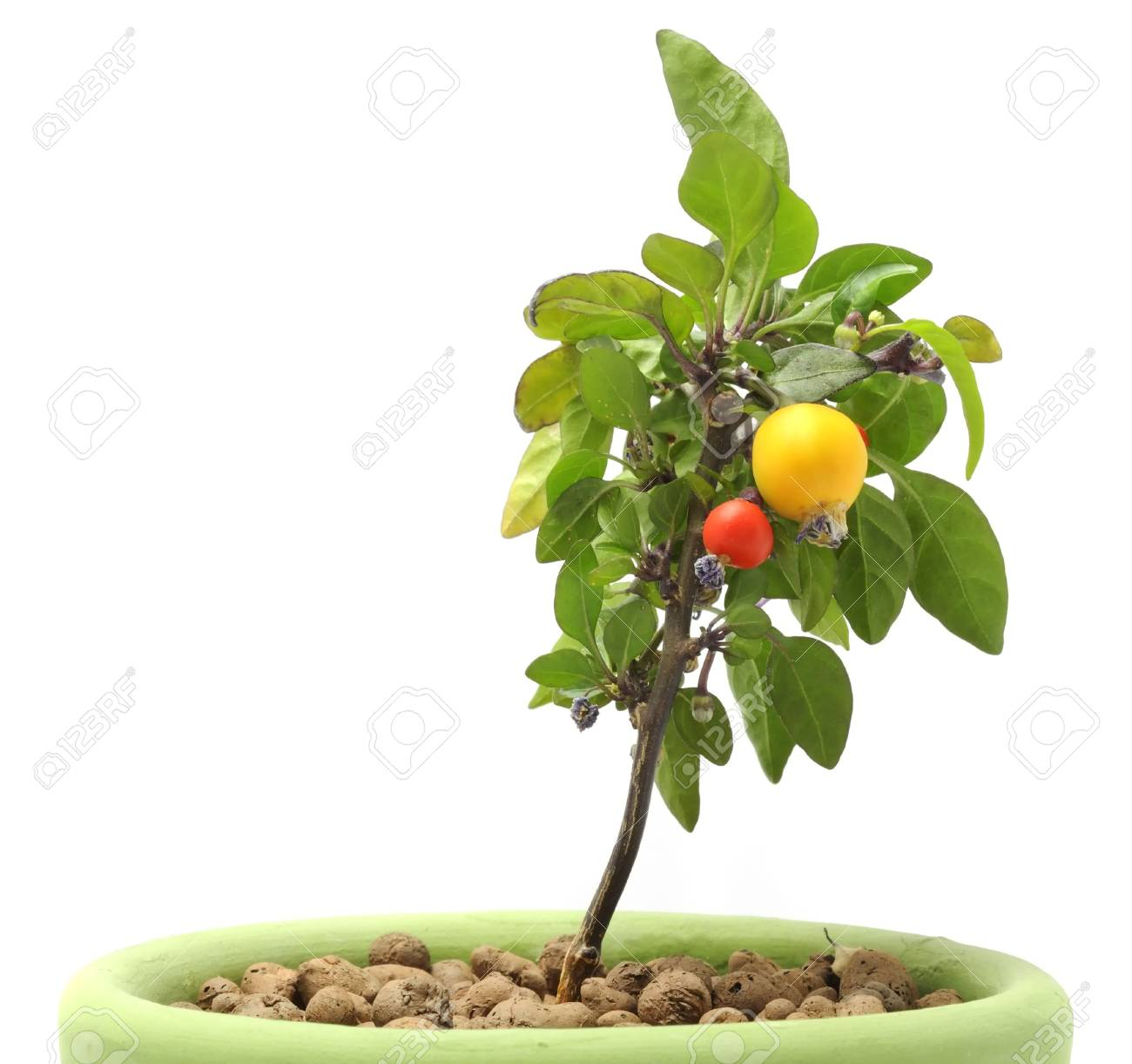 Decorative Pepper in Pot Stock Photo - 7887100