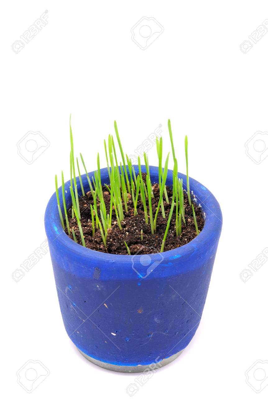 Green Wheat Sprouts in Pot Isolated on White Background Stock Photo - 8724791