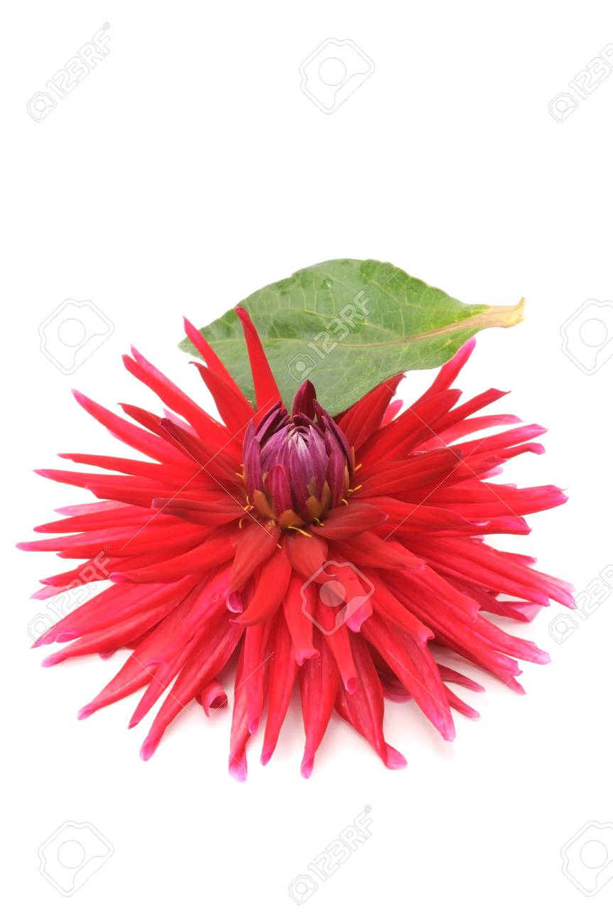 Red Dahlia with Leaf Isolated on White Background Stock Photo - 9463810