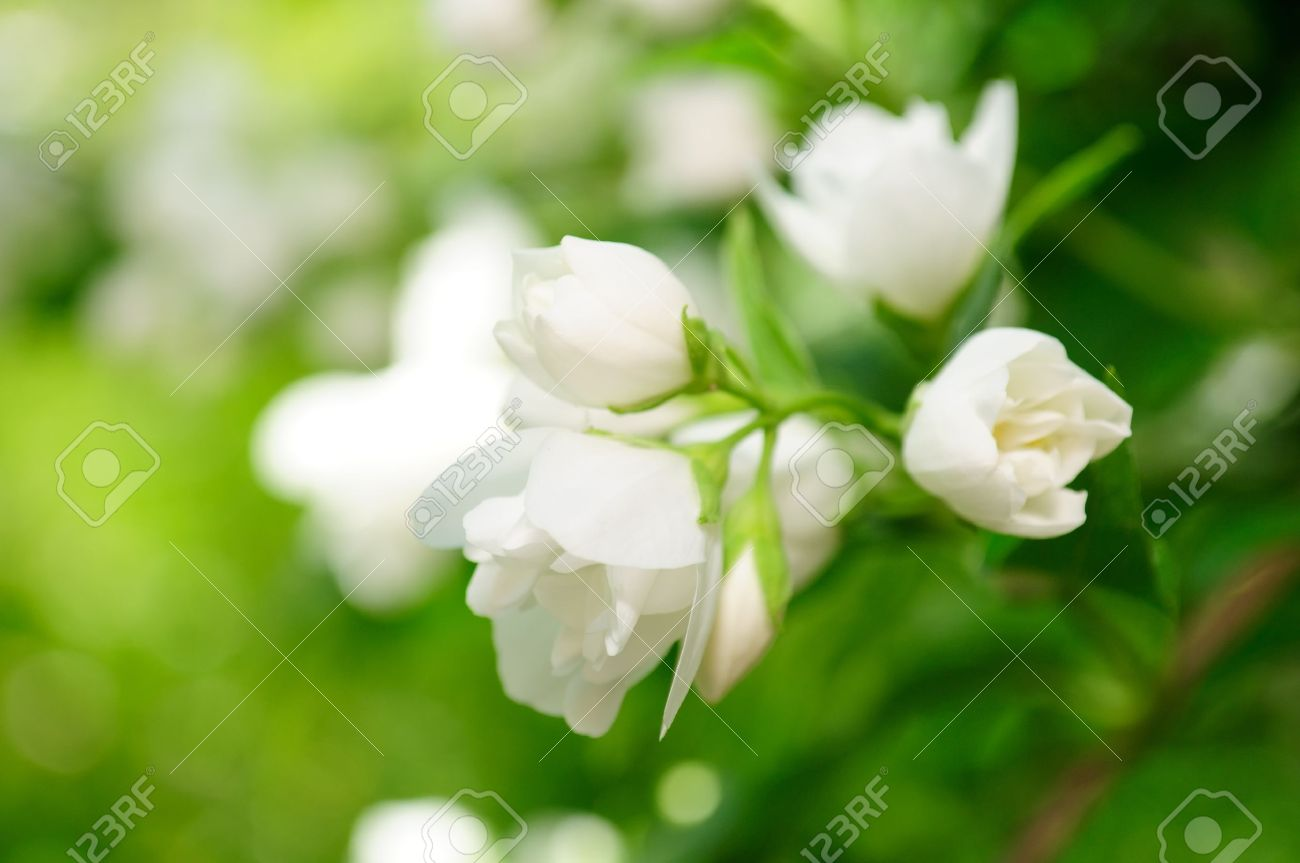 Beautiful White Jasmine Flowers On Shrub Stock Photo Picture And