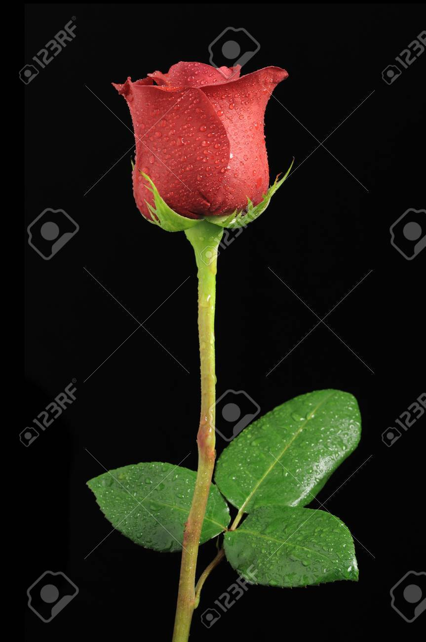 Beautiful Red Rose With Dew Drops On Black Background Stock Photo Picture And Royalty Free Image Image 11622711