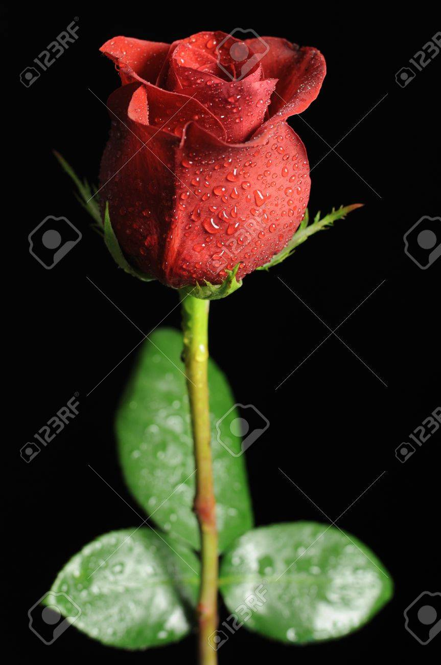 Red Rose With Dew Drops On Black Background Stock Photo Picture And Royalty Free Image Image 11622716