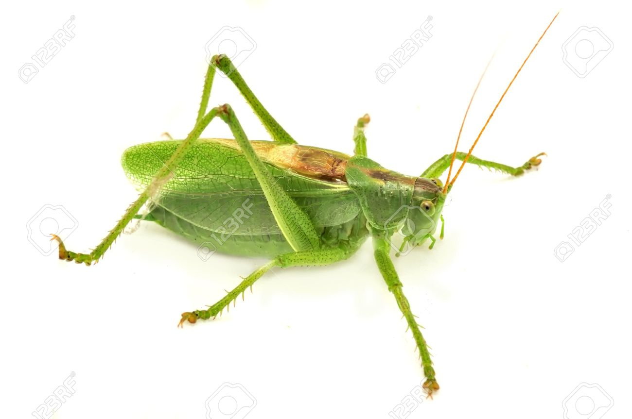Green Grasshopper Isolated on White Background Stock Photo - 11813302