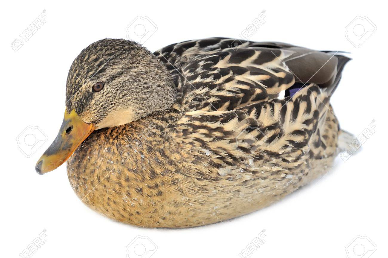 Mallard Duck Isolated on White Background Stock Photo - 12336725
