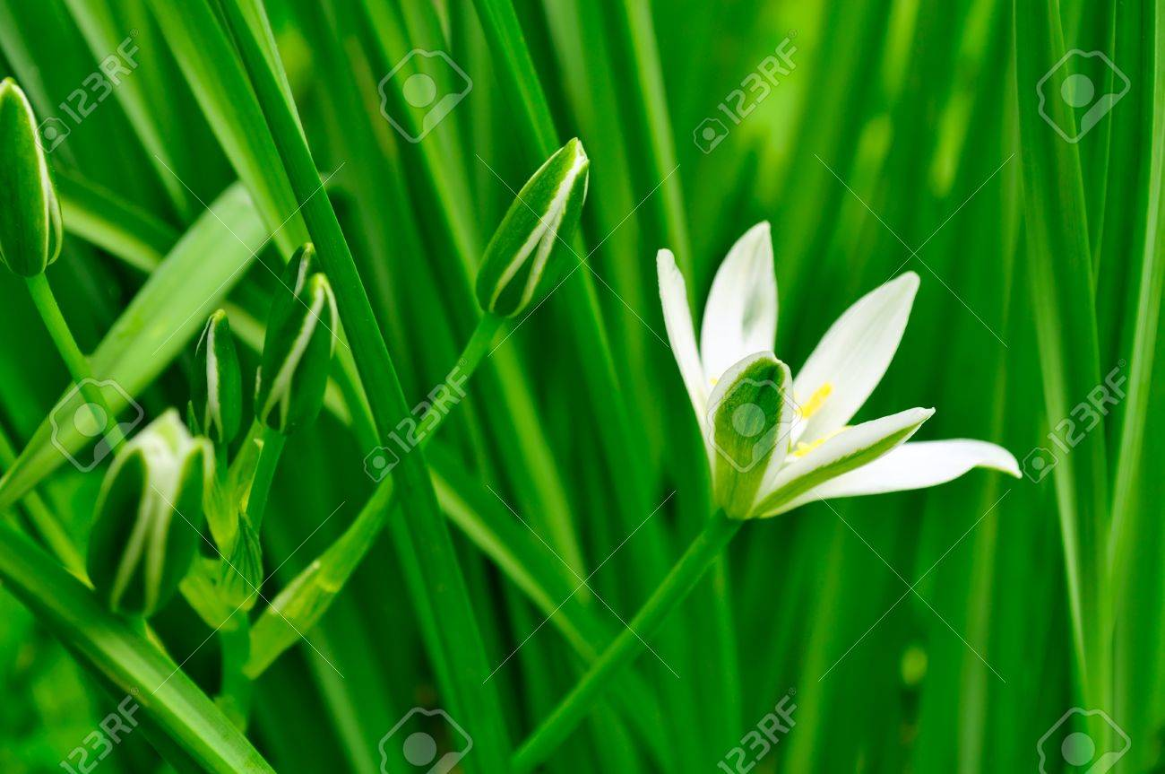 Little White Ornithogalum Grass Lily Flowers In Summer Stock Photo