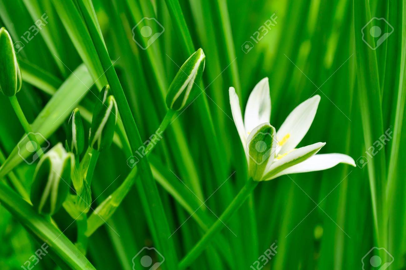 Little white ornithogalum grass lily flowers in summer stock photo little white ornithogalum grass lily flowers in summer stock photo 12841374 izmirmasajfo