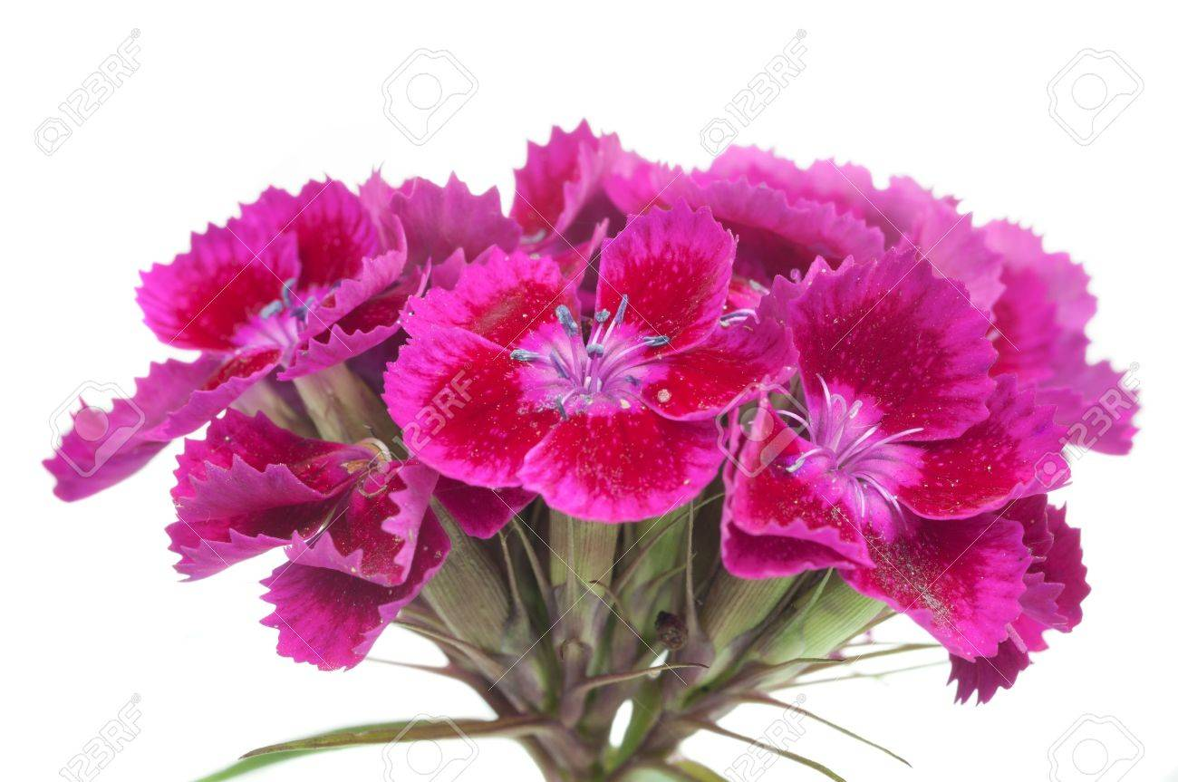 Pink Sweet William Dianthus Barbatus Flowers On White Background