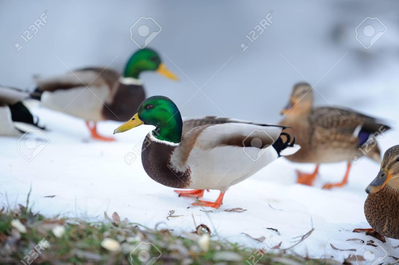 Flock of Mallard Ducks in Winter Stock Photo - 17115157