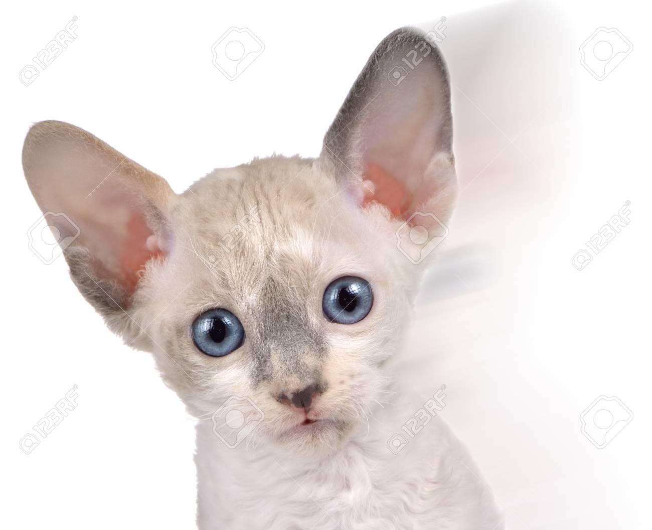 Cute Little White Cornish Rex Kitten in Motion Stock Photo - 17609031
