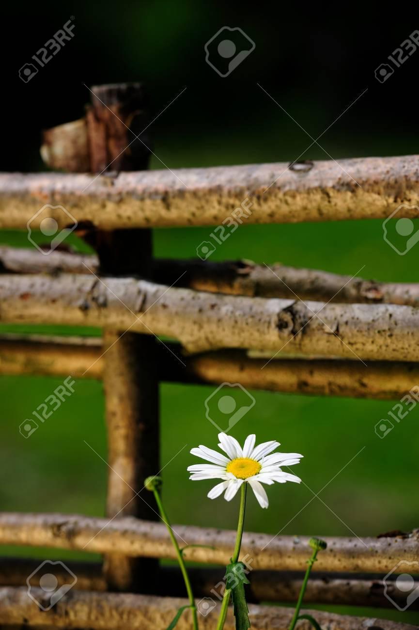 Daisy Flower by Wicker Fence Stock Photo - 21602218