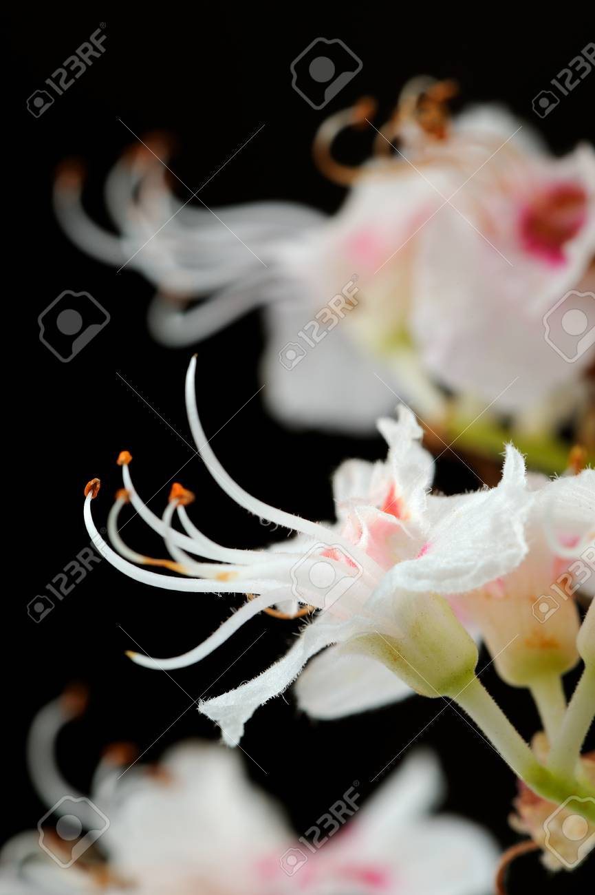 Horse Chestnut Flowers Close Up On Black Stock Photo Picture And