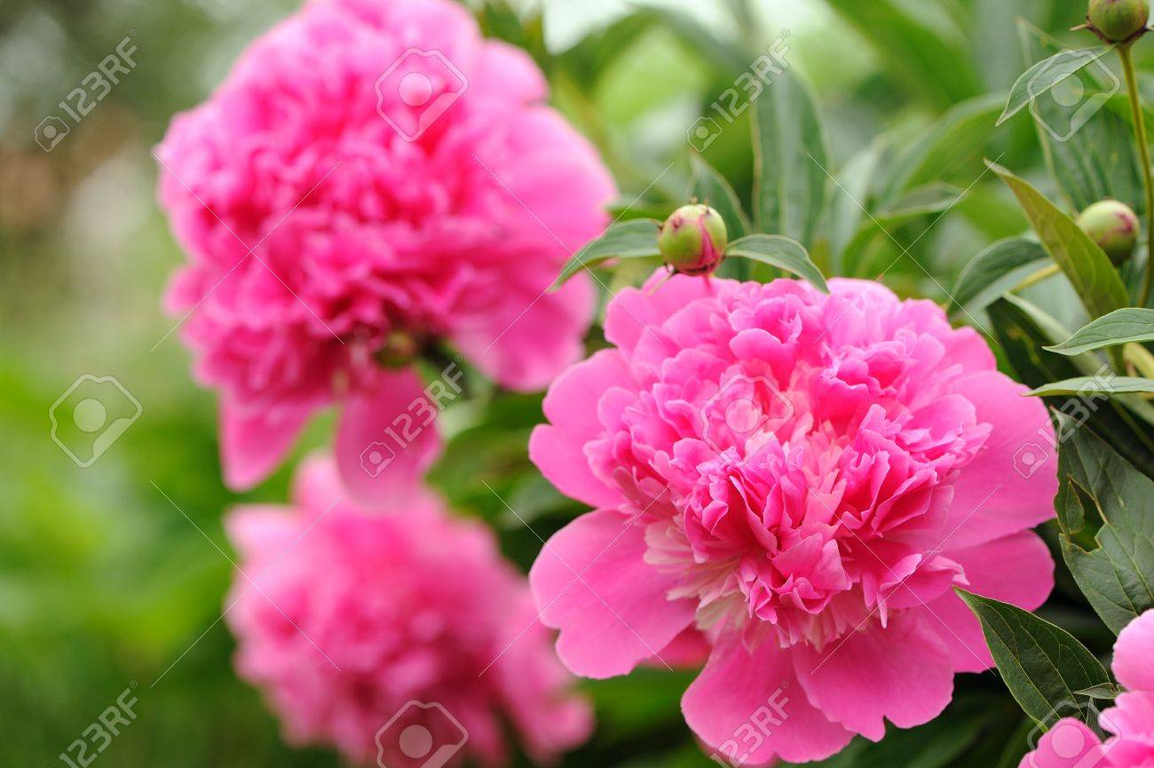 Pink peony flowers with buds in the garden stock photo picture pink peony flowers with buds in the garden stock photo 29450422 dhlflorist Images