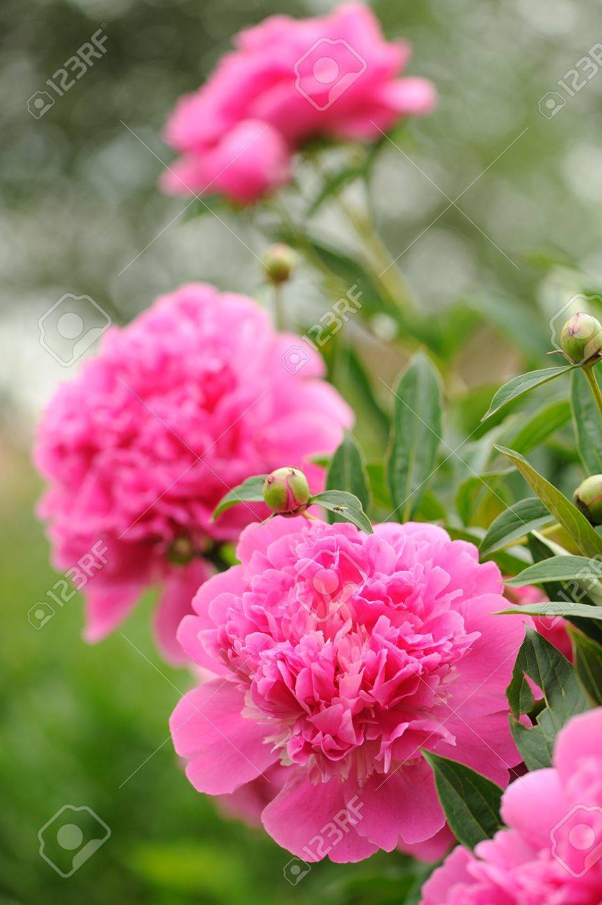 Blooming Peony Bush With Large Pink Flowers Stock Photo Picture And