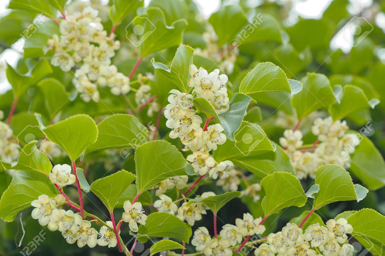 Actinidia Hardy Kiwi Plant With Flowers Stock Photo Picture And