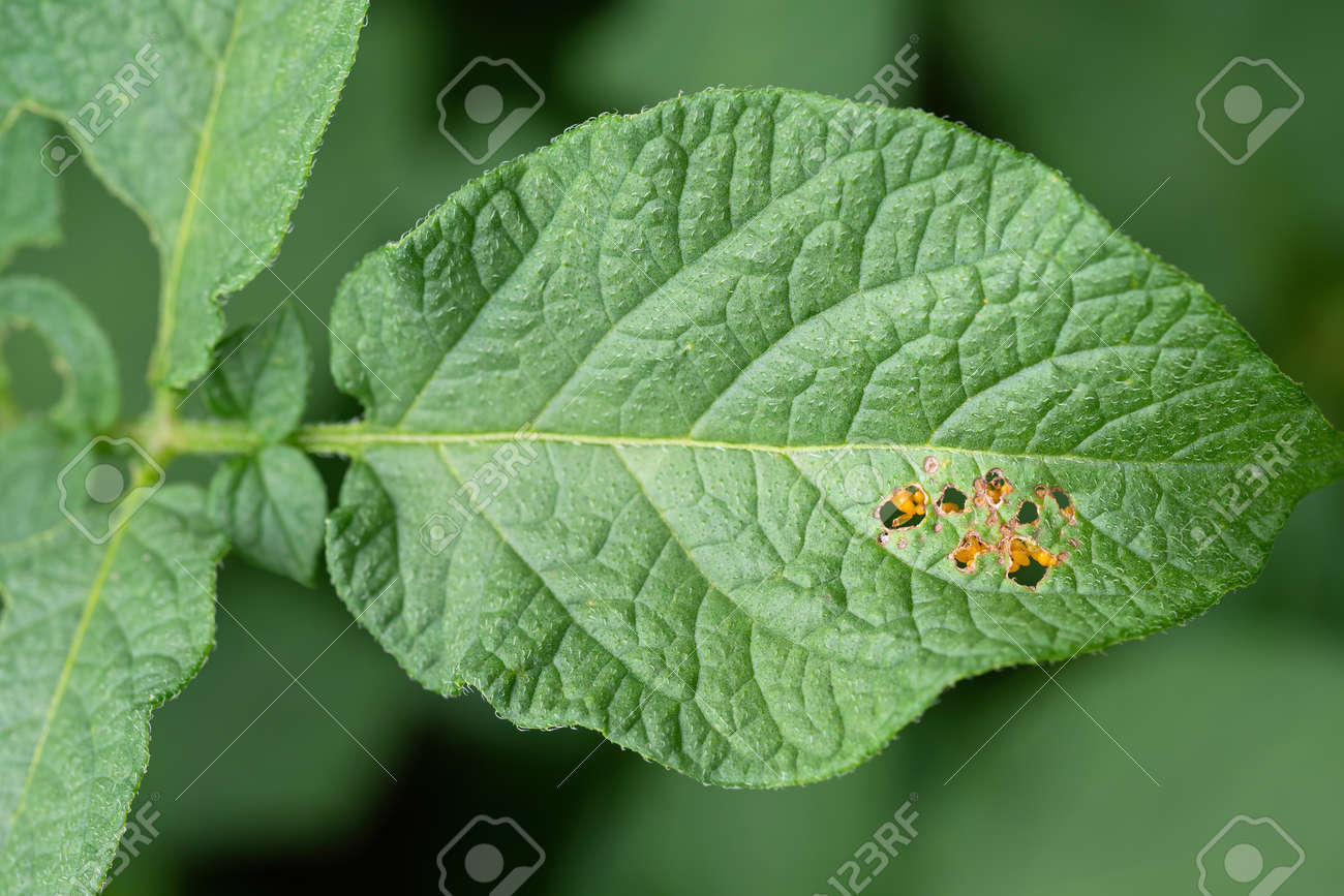 Leaf of potato plant with eggs of Colorado beetle (Leptinotarsa decemlineata) visible through holes. Close-up of insect pest causing huge damage to harvest in farms and gardens. - 159432069
