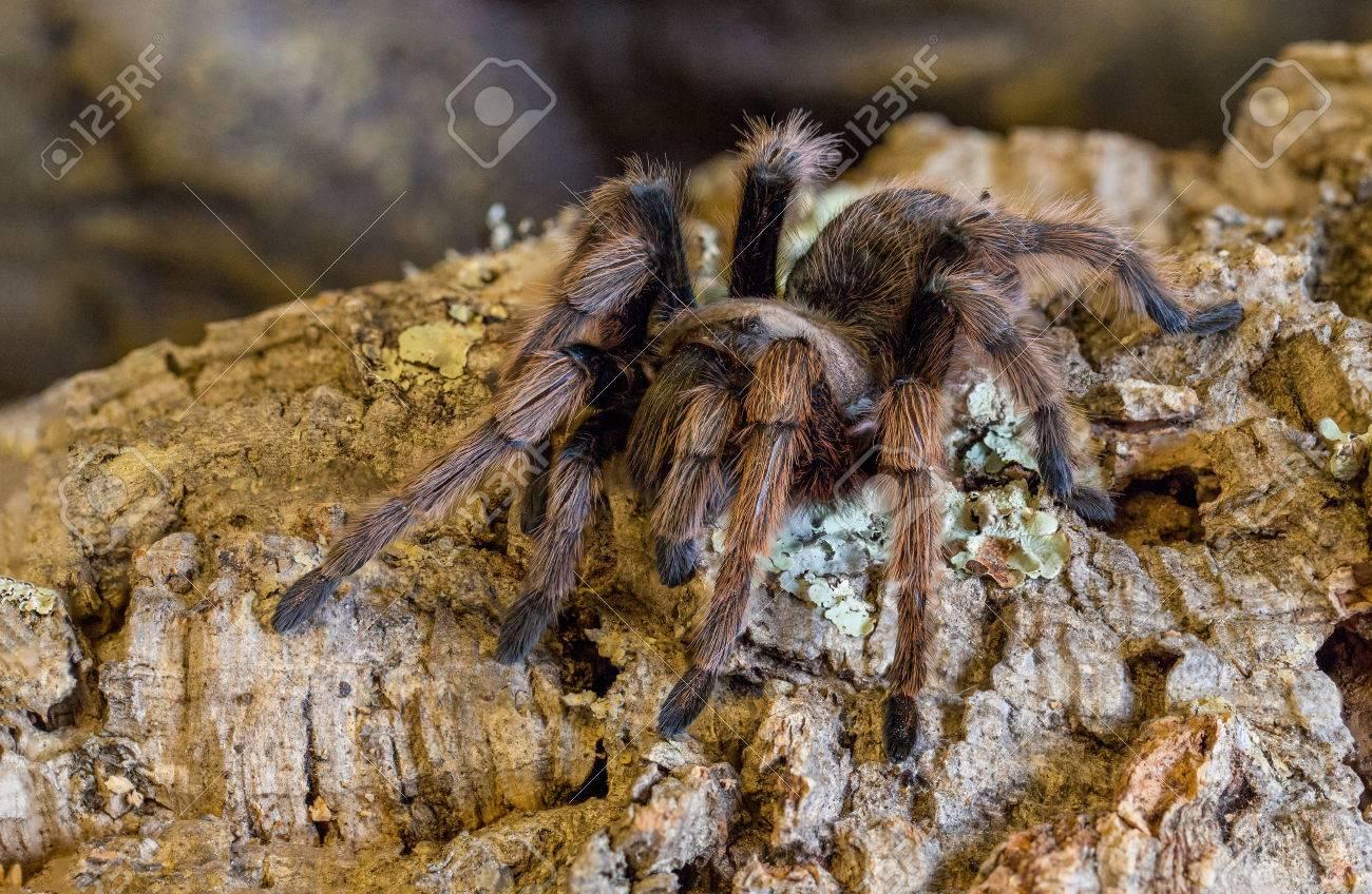 Desert Blonde Tarantula Stock Photo Picture And Royalty Free Image Image 24894452