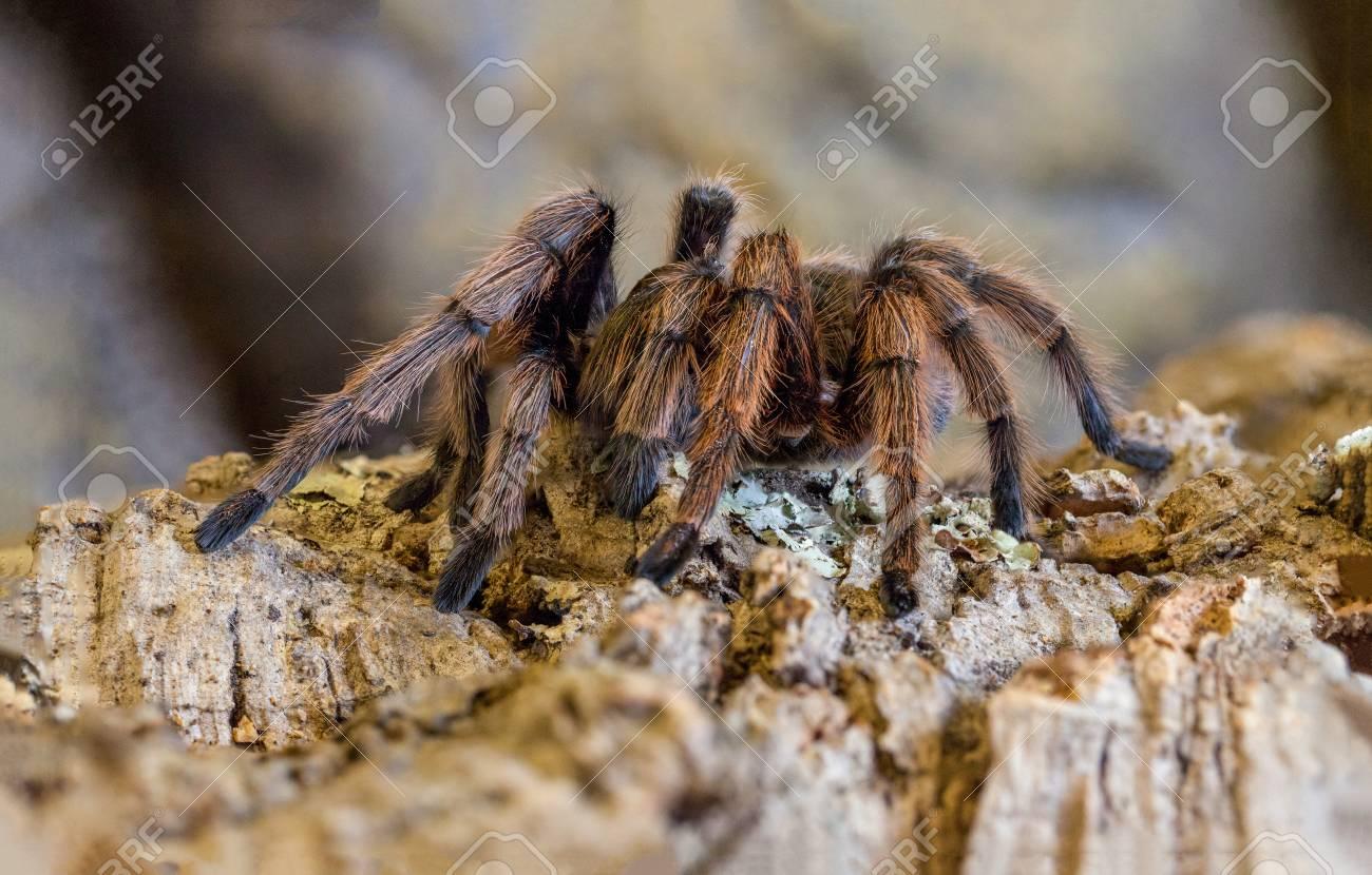 Desert Blonde Tarantula Stock Photo Picture And Royalty Free Image Image 24894453