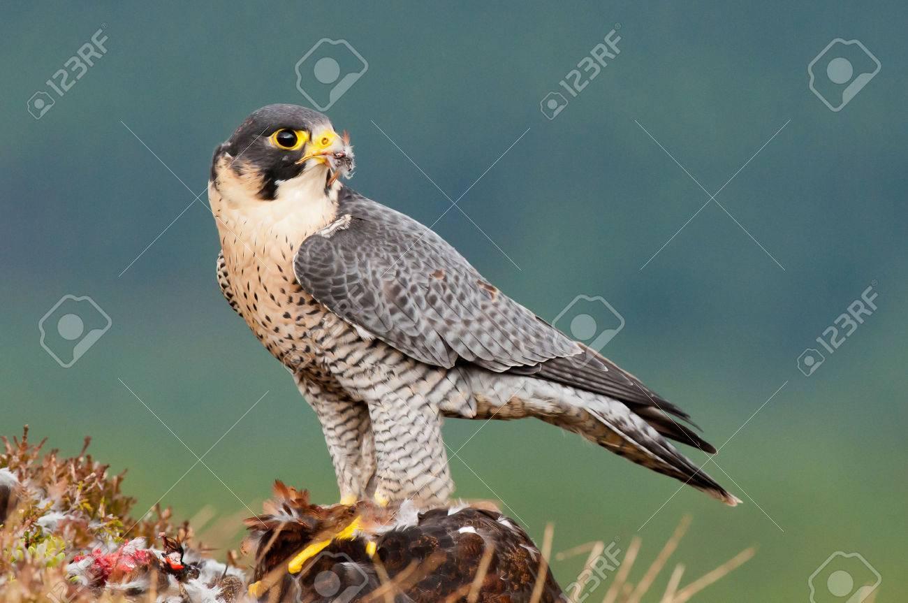 Peregrine Falcon with prey - 24910057