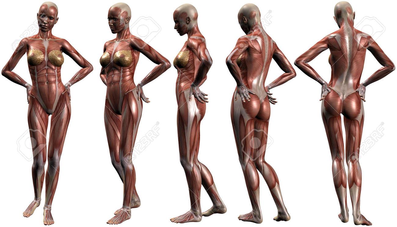 Weibliche Menschlichen Körper Anatomie Lizenzfreie Fotos, Bilder Und ...