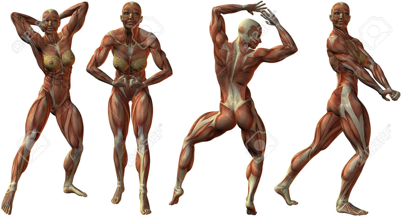 Female Human Bodybuilder Anatomy Stock Photo, Picture And Royalty ...