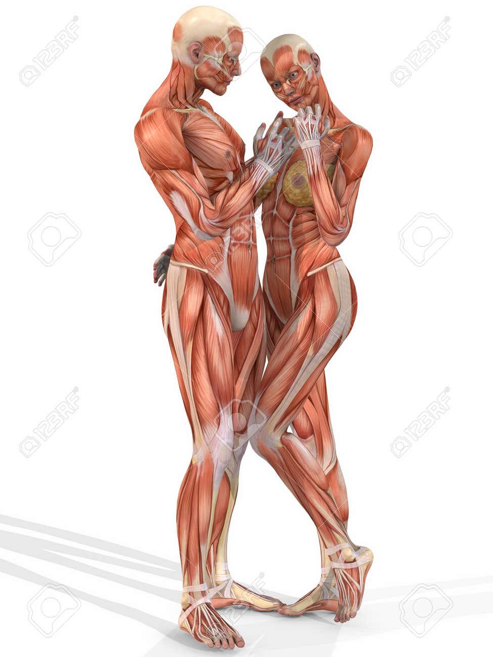 Weibliche Und Männliche Anatomische Körper - Paar Lizenzfreie Fotos ...