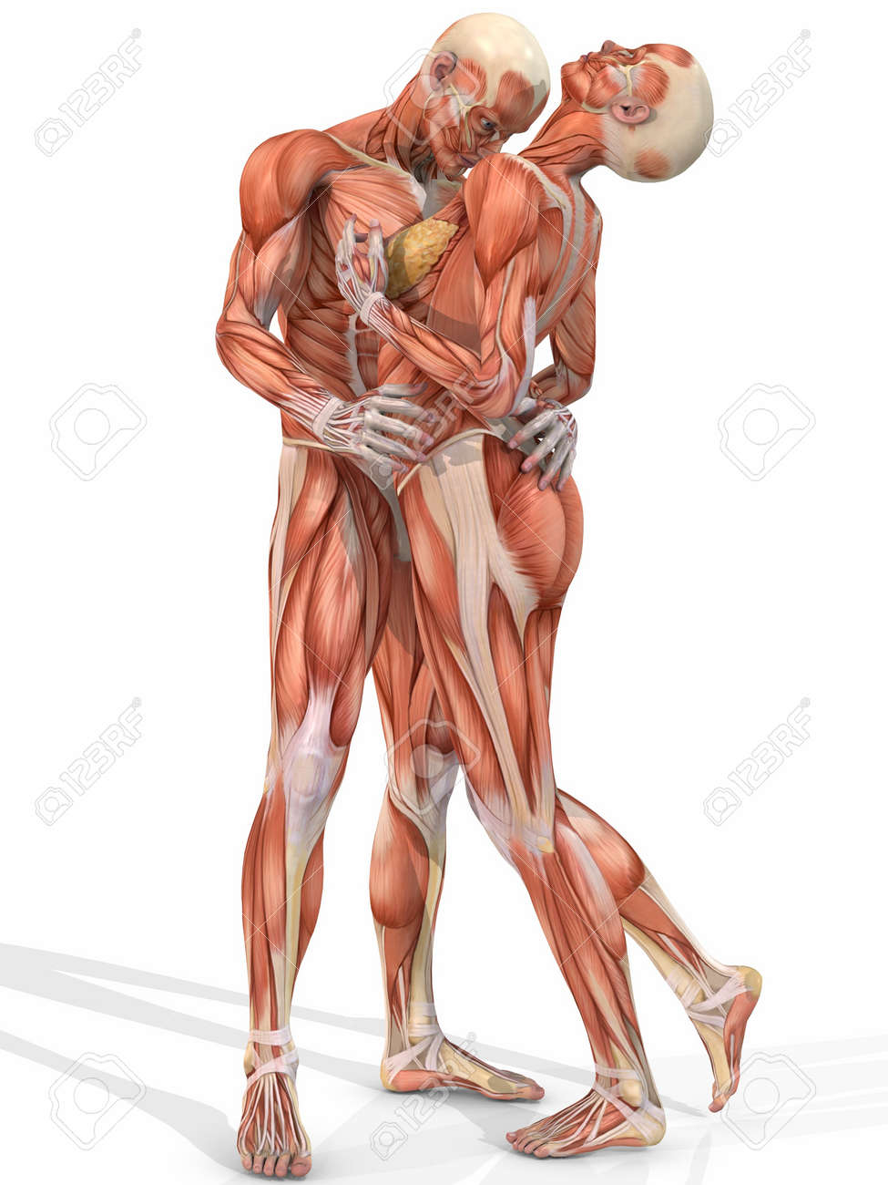 Female And Male Anatomic Body Couple Stock Photo Picture And