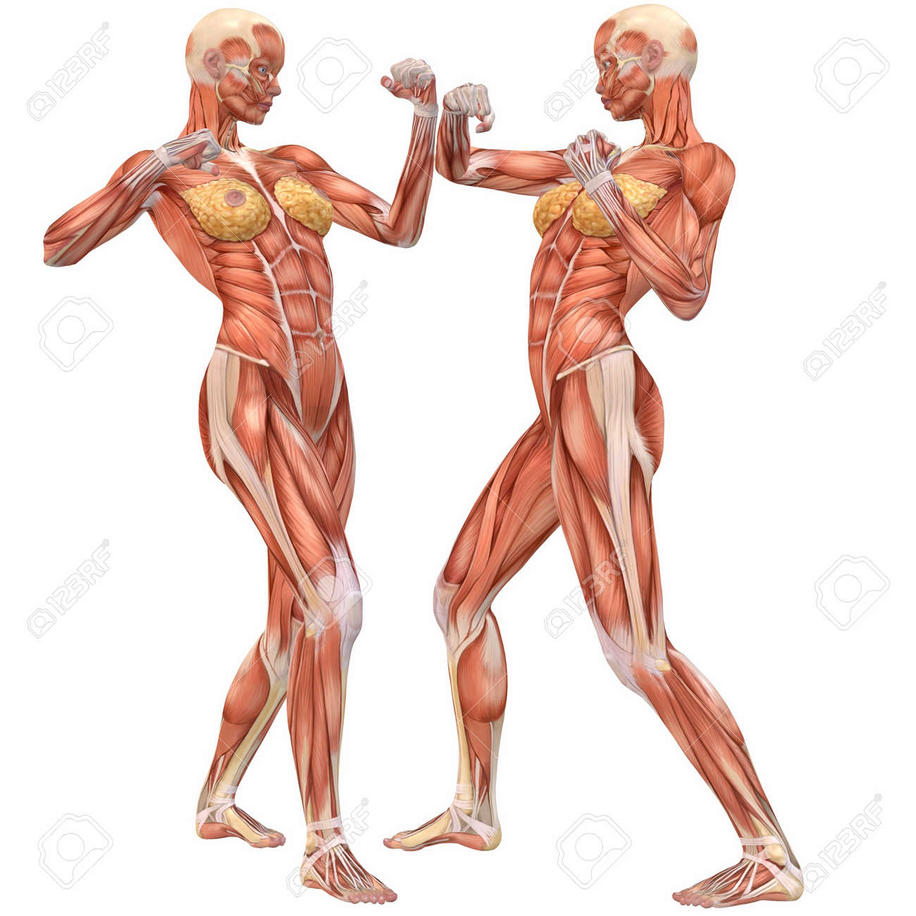 female human body anatomy-street fight stock photo, picture and, Muscles