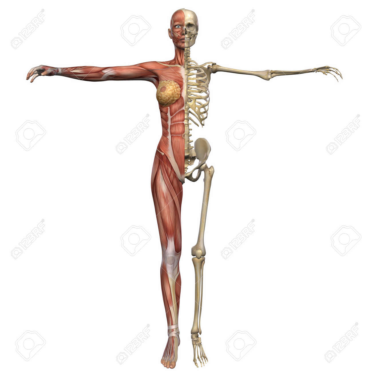 Female Anatomy Body Stock Photo, Picture And Royalty Free Image ...