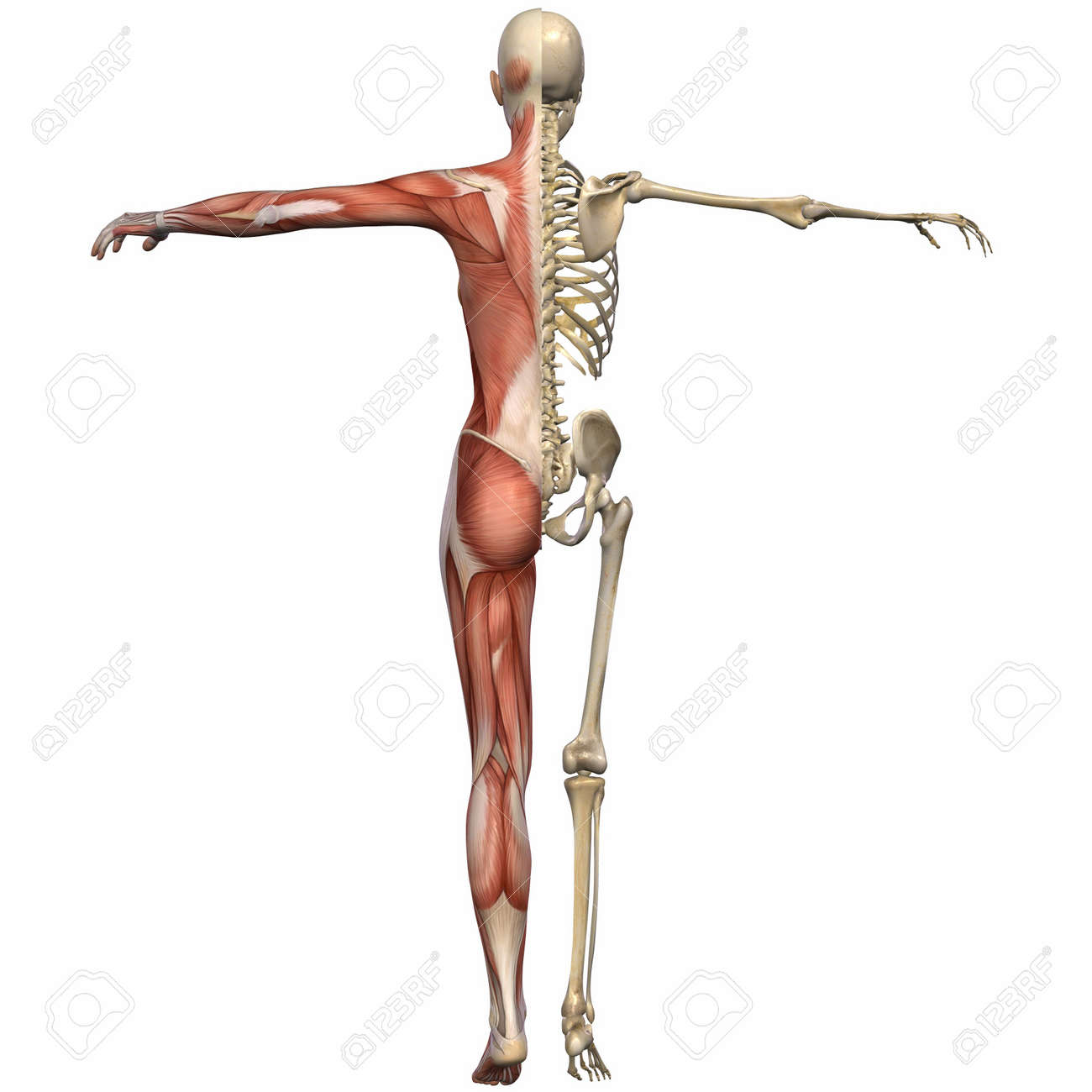 female anatomy body stock photo, picture and royalty free image, Muscles