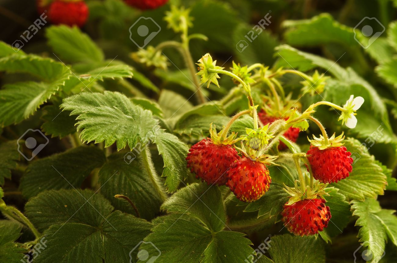 Strawberry Plants Stock Photos & Pictures. Royalty Free Strawberry ...