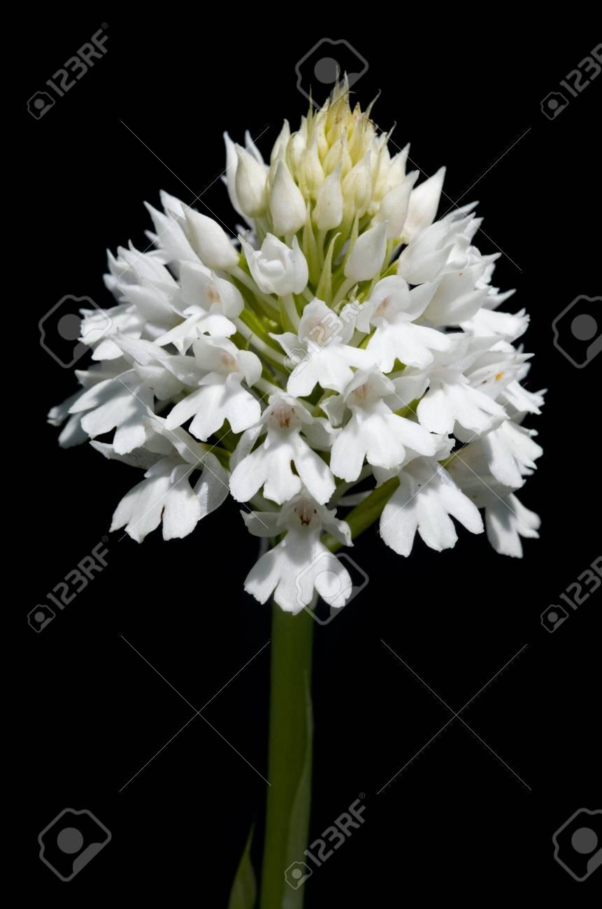 Rare white flowers inflorescence albiflora version of wild rare white flowers inflorescence albiflora version of wild pyramidal orchid anacamptis pyramidalis mightylinksfo